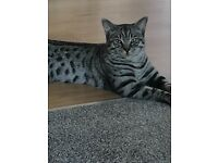 British short haired silver tabby
