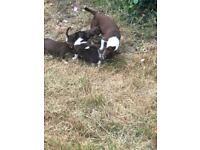 2 chihuahua puppies female