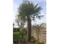 Established Palm Tree Plant