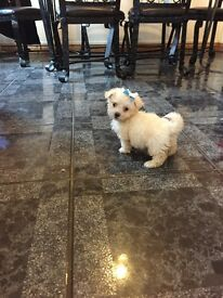 Bichon pup