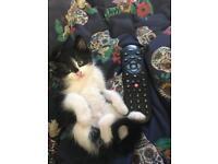 beautiful black and white kitten.