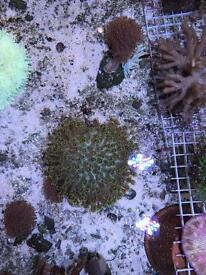 Green Goniopora Marine Coral