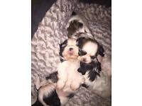 Pedigree boy and girl Shih Tzu puppies