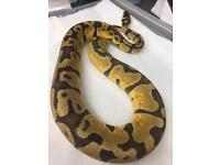 Enchi fire female royal python
