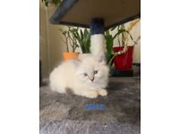 Beautiful Purebred Ragdoll Kittens