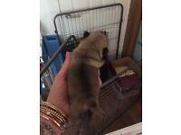 PlasmaPug puppy