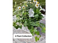 Summmer Flowering 4 & 6 Plant Collection