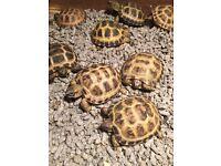 Tortoise table and Horsefield tortoise
