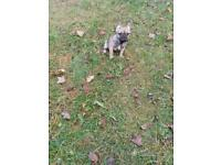 French Bulldog Puppy Last Boy and Girl