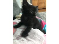 Beautiful black and grey boy kitten. 8 weeks old.
