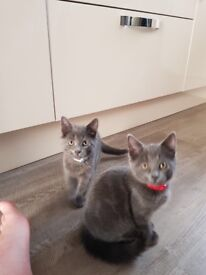 2 beautiful Male Kittens and Accessories