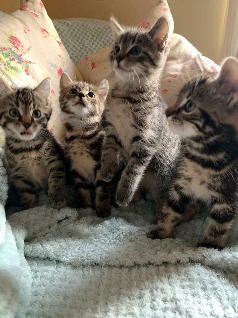 Bengal X Tabby Kittens For Sale In Liphook Hampshire Gumtree
