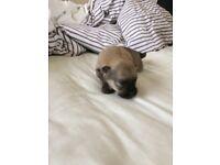 4 boy Pomeranian puppy's for sale