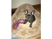 Solid Blue French Bulldog Puppies For Sale AYAY-DD-BB-KYKB