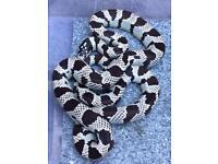 King snake £20