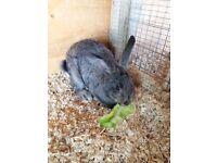 English Spot cross rabbit for sale