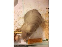 American fawn crested Guinnea pig ,female very tame ,love cuddles and attention .