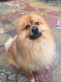 Pomeranian £500