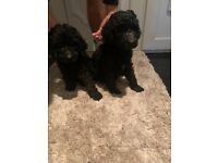 Pedigree poodles forsale