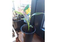 20cm indoor banana plants