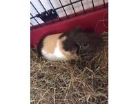 guinea pig and indoor cage and new pet carrier