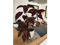 Coleus (House Plant or Outdoor Annual)