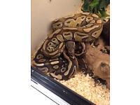 Mojave and lesser ball pythons