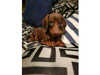 Pedigree dachshund puppies