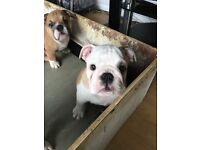 Beautiful boy bulldog puppy KC registered