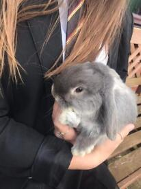 2 FRIENDLY MALE MINI LOP RABBITS FOR SALE