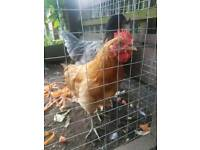 Chicken free to a good home