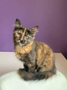 Friendly Cuddly Gorgeous Rescue Kitten (Desexed, Vacc, Microchip)