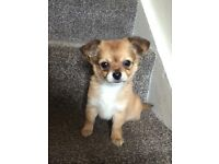 Last Chihuahua puppy for sale