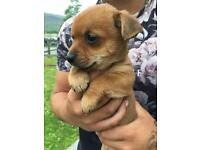 Chorkie puppy ready for new home now