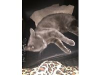 Blue Russian cat for sale