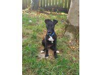 Whippet cross greyhound
