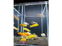 Malawi 2 for £13 cheap tropical fish
