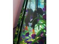 2x red tail shark & 1 rainbow shark