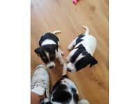 5 Jack Russell puppies for sale.