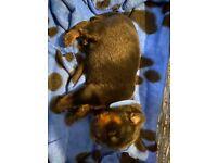 3 Chunky Rottweiler puppy's left