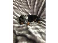Standard x miniature dachshunds