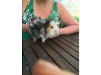 Bonded male guinea pigs looking for their forever homes