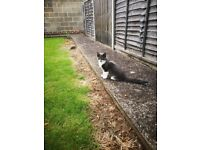 Lovely long hair grey kitten