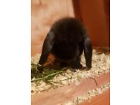 Young mini lops for sale