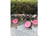 2 blue , 1 blue fawn , 1 sable and 1 blue sable French bulldog puppies