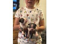 Boston terrier boy puppies