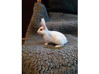 10 wk old,white mini rex cross bred rabbit female
