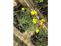 Californian poppies £1 each 10 left