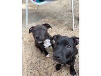 ‼️SOLD‼️Only 2 left‼️Staffordshire Bull Terrier Pups.