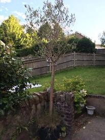 8ft Olive Tree